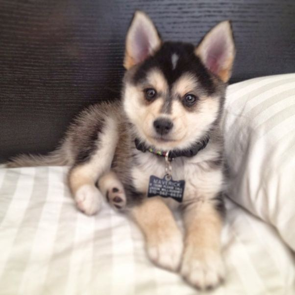 This Is Actually One Of The Best Things About Pomskies Compared To Owning A Full Blood Husky Or Other Similarly Tempered Breed Like Their