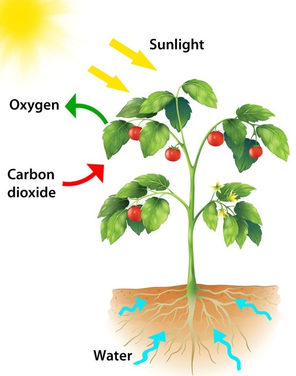 Uses Energy From Sunlight To Make Food Molecules