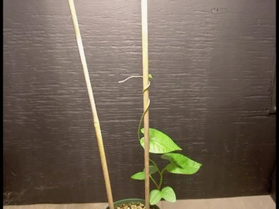 What Are Some Examples Of Thigmotropism In Plants Quora