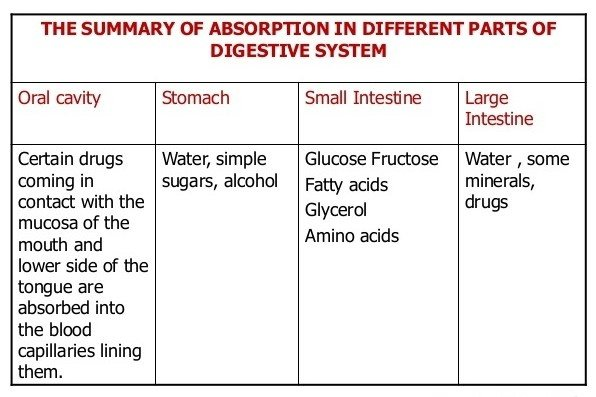 Which part of the digestive system absorbs nutrients after eating in ...