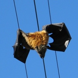 Why do bats die of electric shock when hanging from electric