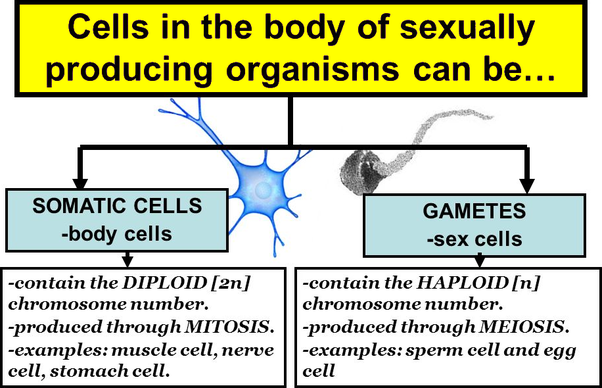 What is the difference between somatic cells and gametes quora or vegetal cell is any biological cell forming the body of an organism that is in a multicellular organism any cell other than a gamete germ cell ccuart Images