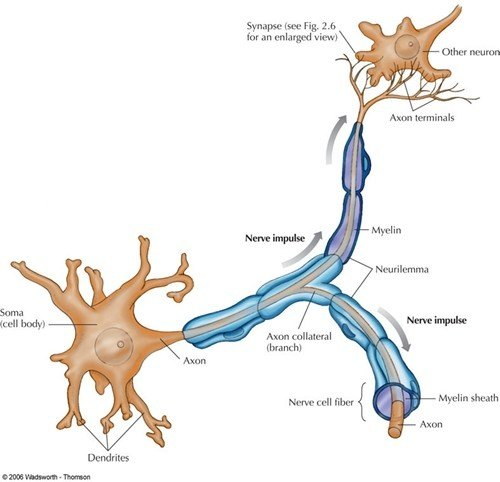 What is the shape of a nerve cell? - Quora