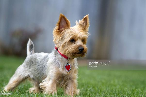 What Do Yorkie Rat Terrier Mix Puppies Look Like Quora