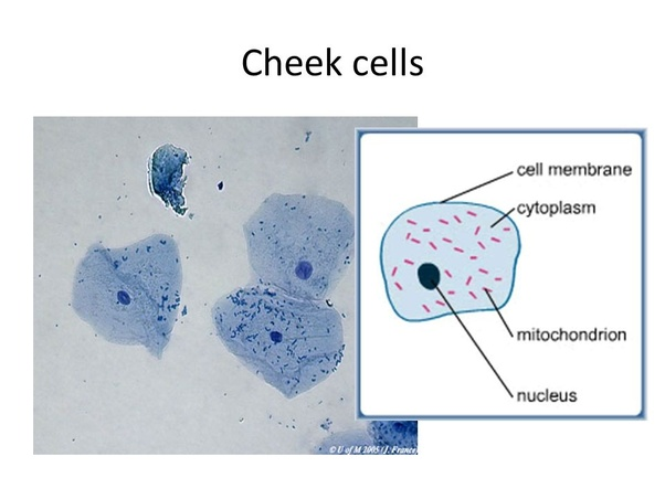 What organelles would be visible in a cheek cell? Why? - Quora