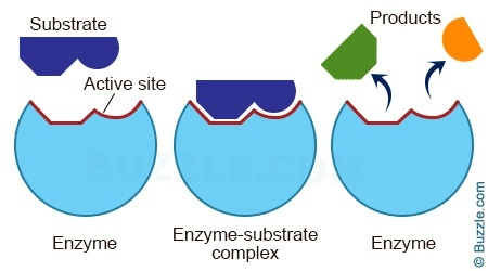 diagram of enzyme and secretion through digestion diagram of enzyme reaction