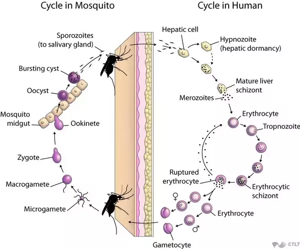 Asexual life cycle of plasmodium falciparum macrogametocyte