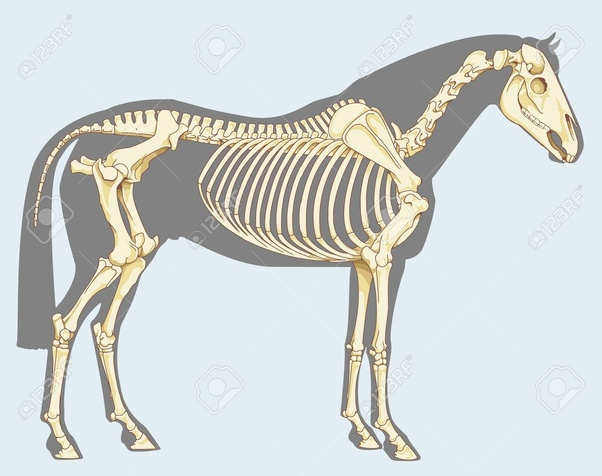 Which animals have endoskeletons? - Quora