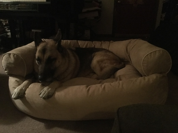 My German Shepherd Carson In His Bed And Beneath That Keyboard Bag Thinking He S Going To Sneak Along The Gig