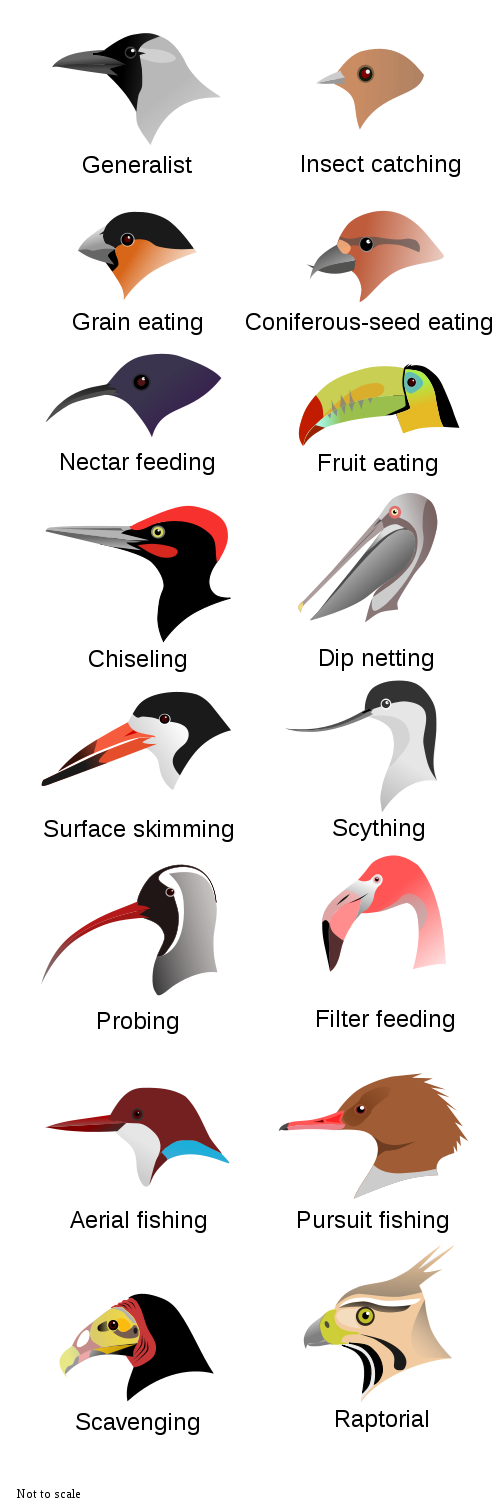 Birds Beak Based On Their T And The One Which Eat Rice Usually Has Grain Eating Shape