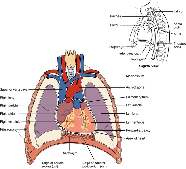 What Organ Is Directly Under A Females Left Breast Quora