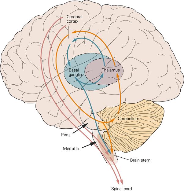 What Is The Part Of The Brain Cerebellum Quora