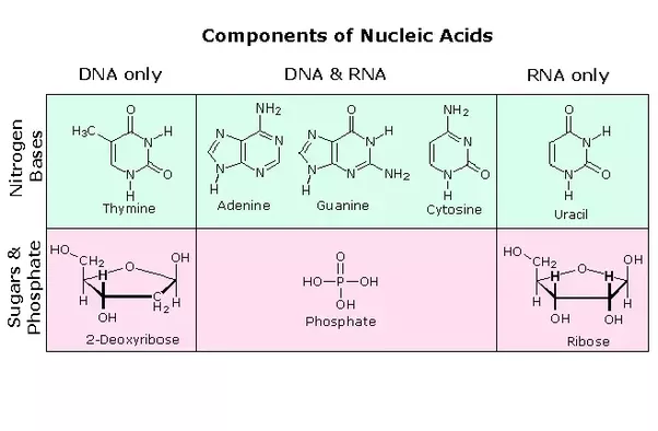 Which Monomer Is Used To Build Rna And Dna