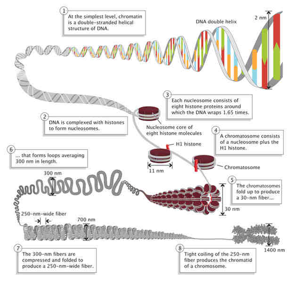How Is Dna Different From Chromosomes