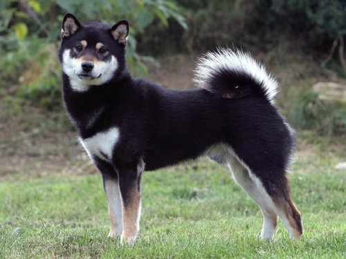 What Are The Differences Between An Akita Inu And A Shiba