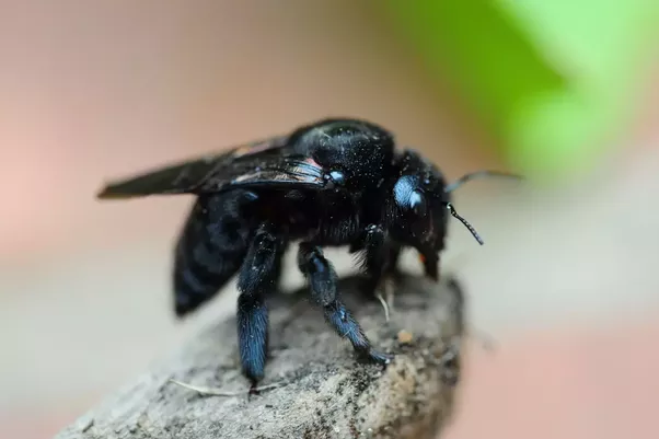 Black Bumble Bee >> Are Black Bumble Bees Dangerous To Humans Quora