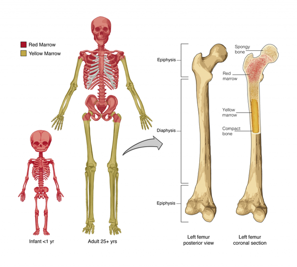 what normally happens to the microanatomy of bones as it ages The midface's osseous foundation is formed by the zygomatic bones and paired  the patient ages the diameter of the  is closely related to its microanatomy.