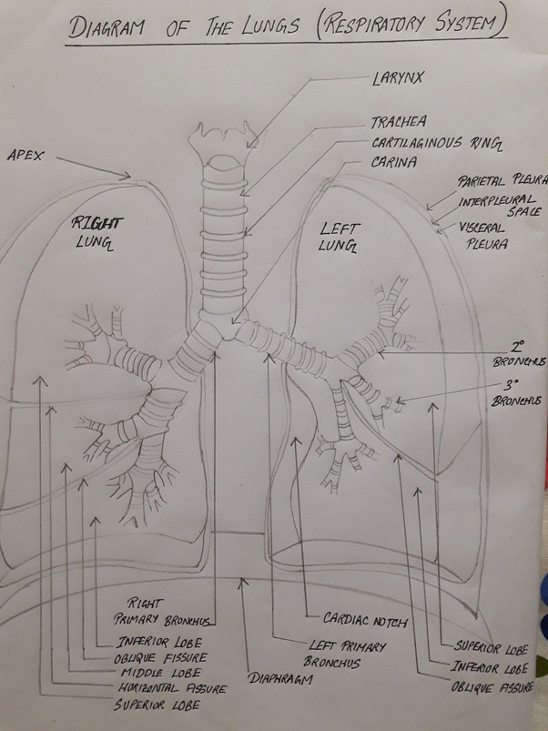 How Does Someone Draw A Labelled Diagram Of Lungs