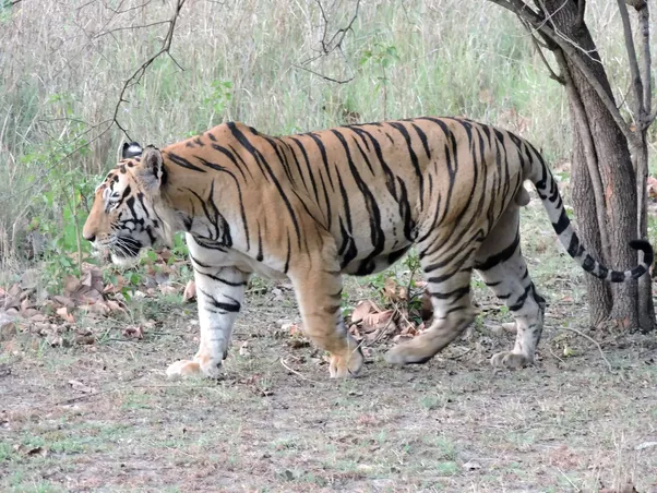 Why Is The Tiger The King Of The Jungle - Quora-5119