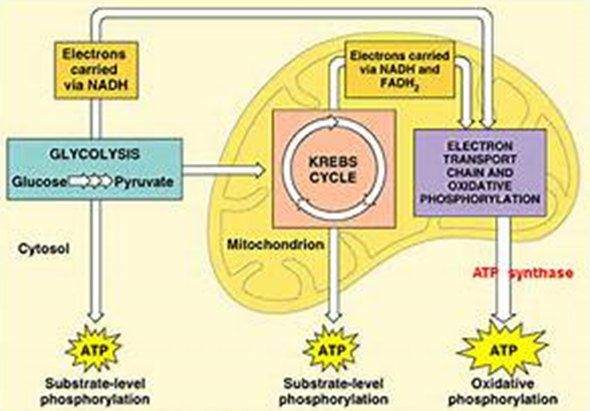 What happens to glucose and oxygen in cellular respiration quora cellular respiration infograph lifted from infographnngage article cellular respiration ccuart Gallery