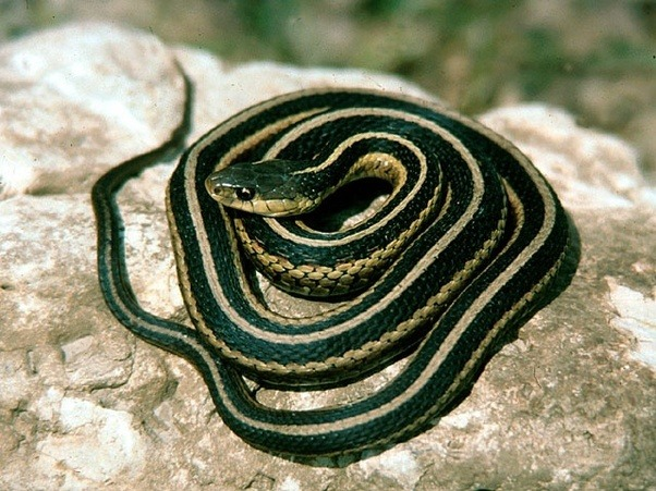 What animals eat garden snakes? - Quora