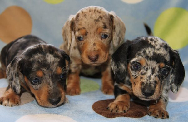 What does a Dapple Dachshund look like? - Quora  What does a Dap...