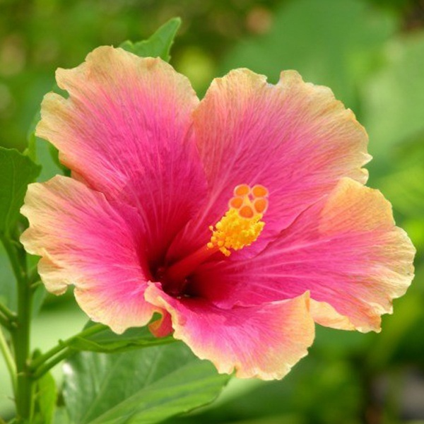 What Are The Ideal Growing Conditions For Hibiscus Quora
