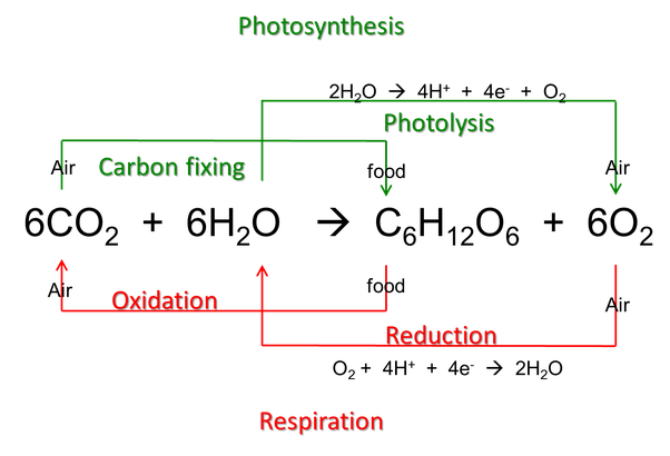 How are photosynthesis and aerobic respiration linked quora 4h 4e o2 2h2o ccuart Gallery