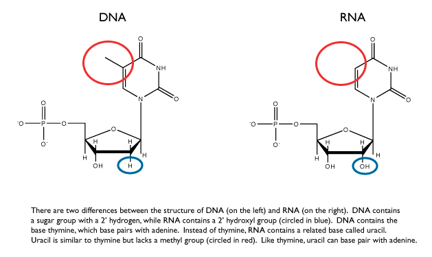 What Are The Differences Between Dna Rna And Mrna Quora
