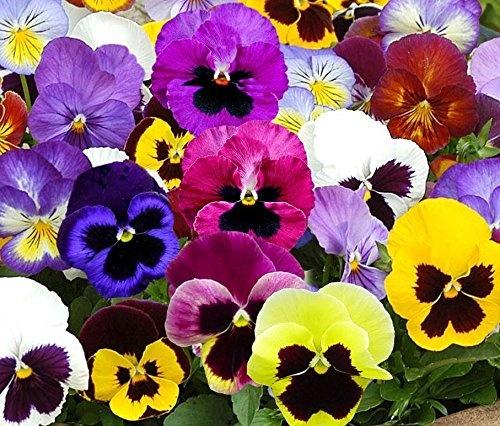 Are Violas Annuals Or Perennials Quora