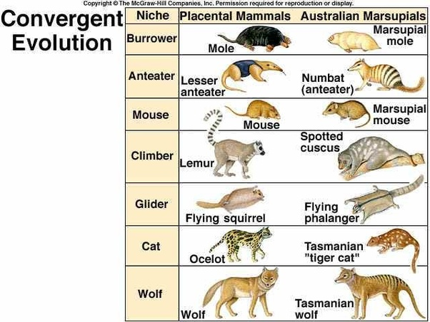 Why Is Adaptive Radiation Considered Convergent Evolution Quora