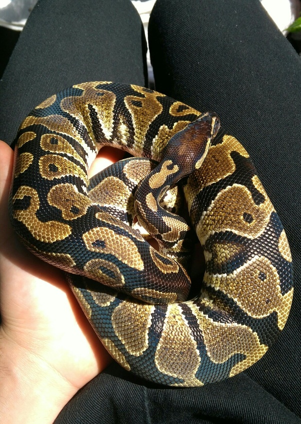 Fear of snakes is one of the most common phobias, yet many