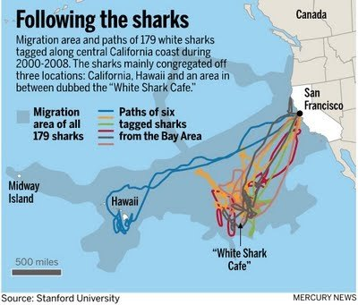 How Close Do Great White Sharks Come To The Shore Can One