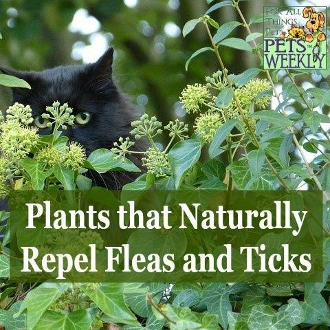 What Are Plants Or Flowers I Can Plant To Repel Ticks Quora