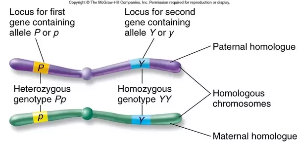What Is A Pair Of Homologous Chromosomes Quora