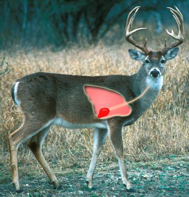 main qimg a7a9f32ec915b3c7052d856c771694b0 how to aim and hit a deer's vital organs when hunting quora
