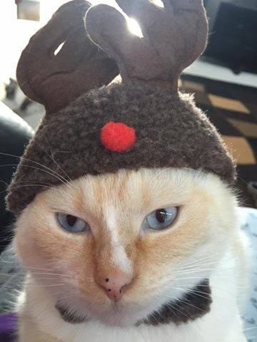 this cats name is shiraz and shes a flame point moggy who in this picture is rather annoyed to have been turned into a christmas reindeer by her owner - Christmas Names For Cats