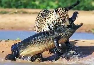 Awesome We Know Jaguars Are Capable Of Killing Crocodiles. This Behavior Has Been  Observed In The Wild So It Has Been Documented. However Feeding Behavior Is  Less ...