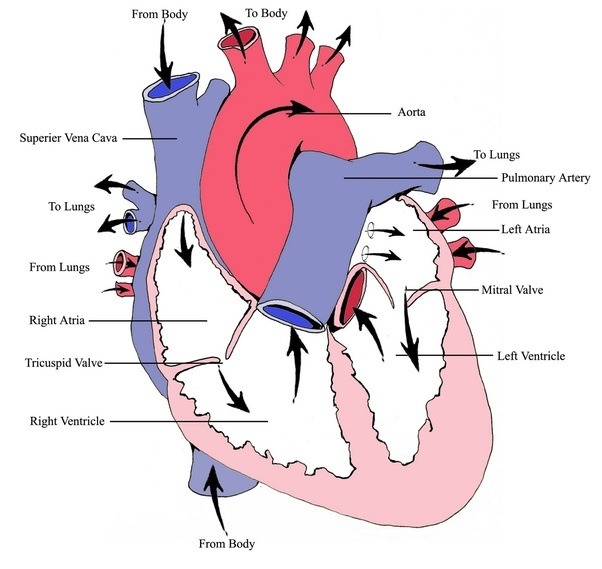 How to describe the function of the right atrium - Quora