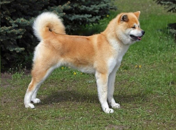 Breed Of Dog In Hachi Movie