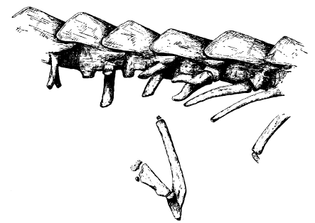 Pelvic skeleton from Mexican worm lizard (Bipes biporus).