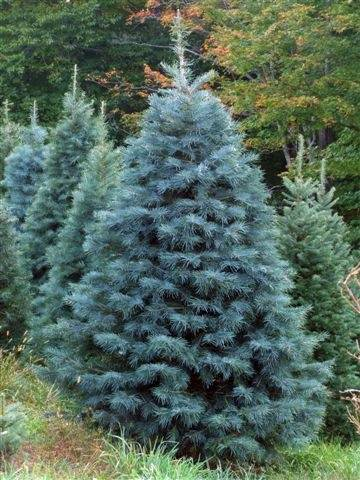 the larger the tree the longer the growth cycle when a christmas tree farm first starts out it will be at least 7 years before they will be able to cut - How To Trim A Christmas Tree