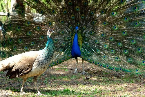 Here Is A Peacock Doing His Best To Impress Peahen