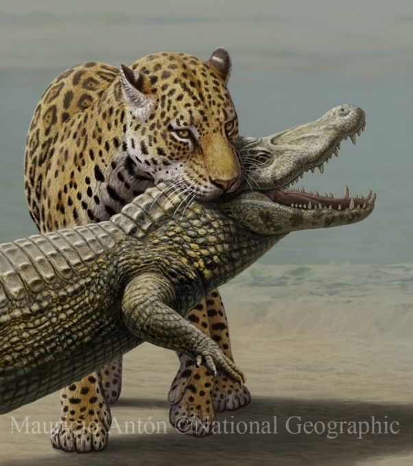 Jaguars Have A CRAZY Strong Bite Force Of Around 1300PSI. To Put That Into  Perspective, A Fully Grown Human Male Can Bite Down At About 150PSI.