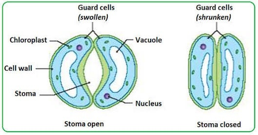 What is the difference between lenticels and stomata? - Quora