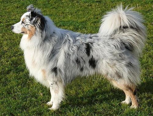 Australian Shepherds Have Tails