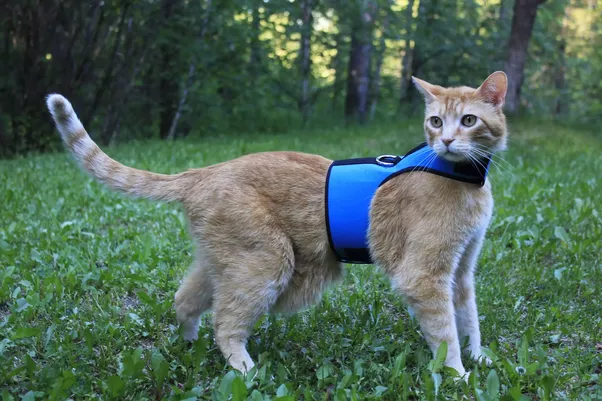 Here S Another Style Of Harness That Works Well For Cats This Cat Doesn T Look Very Hy But The Is Soft And Features Wide Straps Evenly