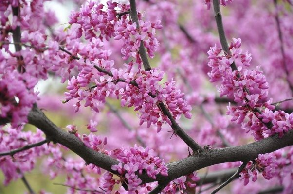 What is your favorite tree in bloom quora it has beautiful small pink flowers that hug the branches mightylinksfo