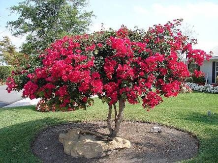 What are some examples of shrub plants? - Quora