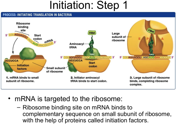 after transcription of dna how does mrna know the